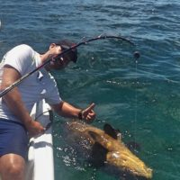 Man giving thumbs up as goliath grouper swims beside fishing charter at Anna Maria Island